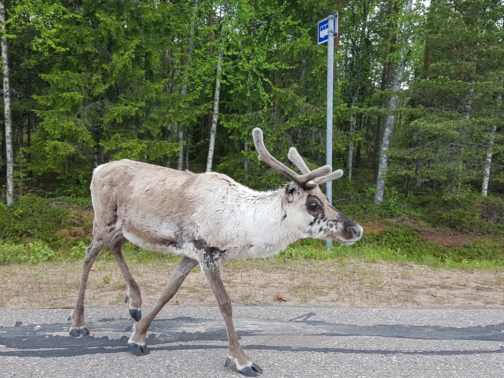 Rentier in Finnisch-Lappland
