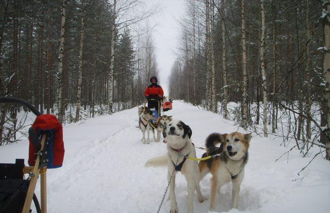 Urlaub auf der Huskyfarm in Finnland