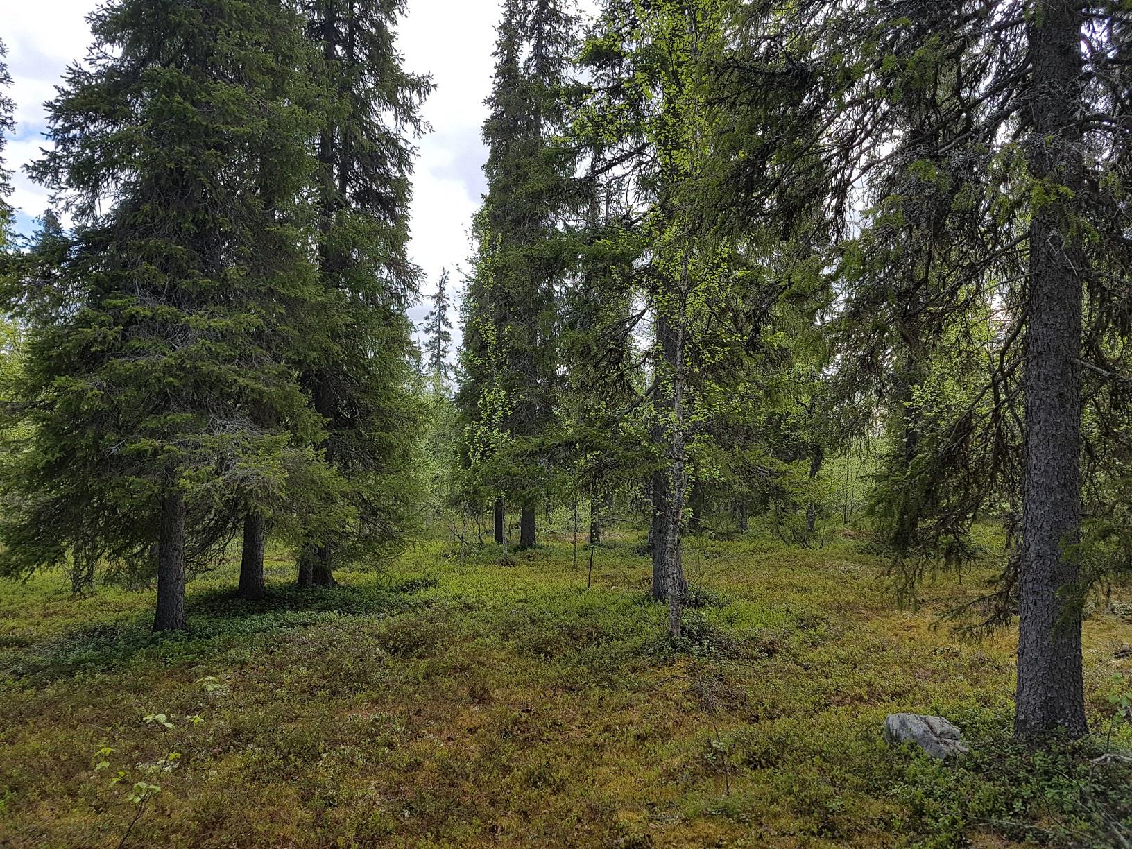 Tiefe finnische Wälder