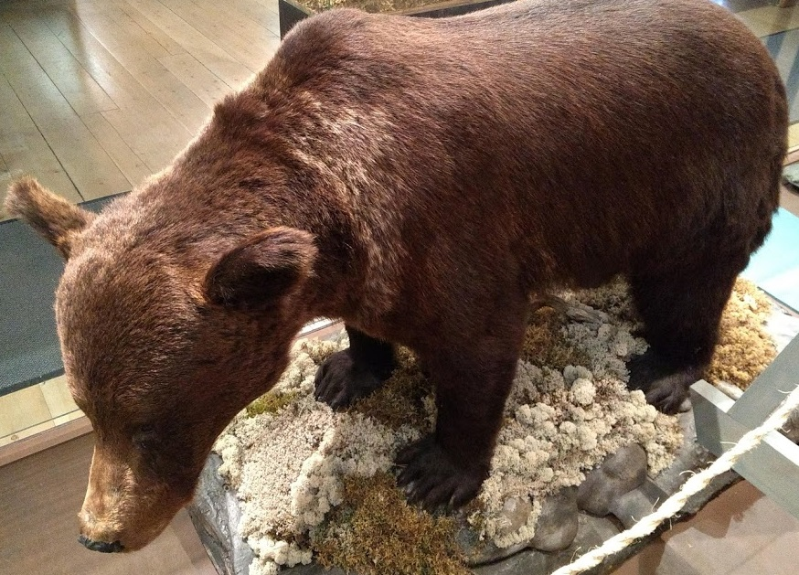 Bär im Tiermuseum Ilomantsi