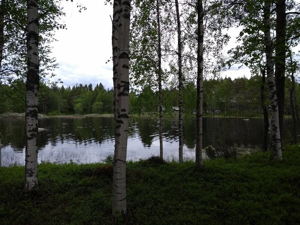 Finnischer Birkenwald an regnerischem Tag