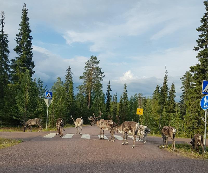 Rentiere überqueren einen Zebrastreifen